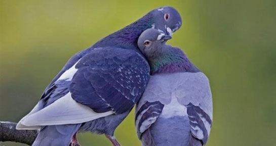 güvercin ile ilgili görsel sonucu