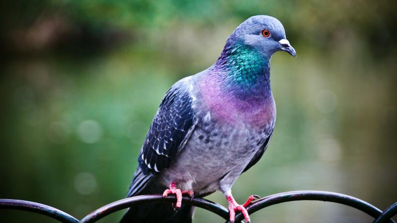 Renkli Güvercin Renkli Güvercin özellikleri Nelerdir Guvercinler